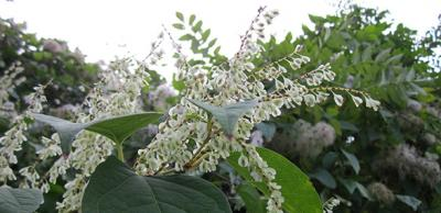 Picture of Japanese knotweed - fallopia Japonica